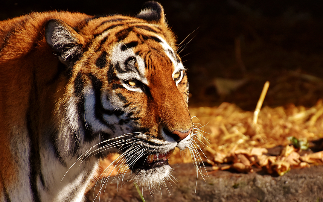 Help, there's a tiger in the workplace! | Stress is stopping you from thinking straight